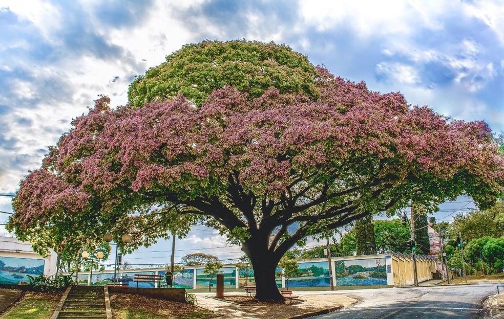 O terceiro lugar ficou com a fotografia da Sapucaia, em Piracicaba — Foto: Helder Prado