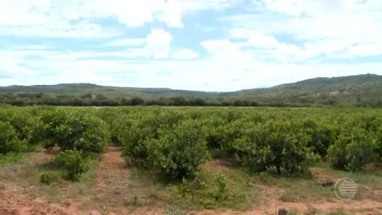 Após anos de perdas, produtores de caju esperam safra recorde no Piauí