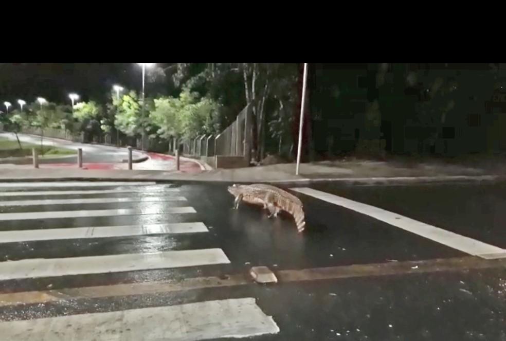 Jacaré foi visto atravessando faixa de pedestre e entrando no Parque das Águas em Cuiabá — Foto: Arquivo pessoal