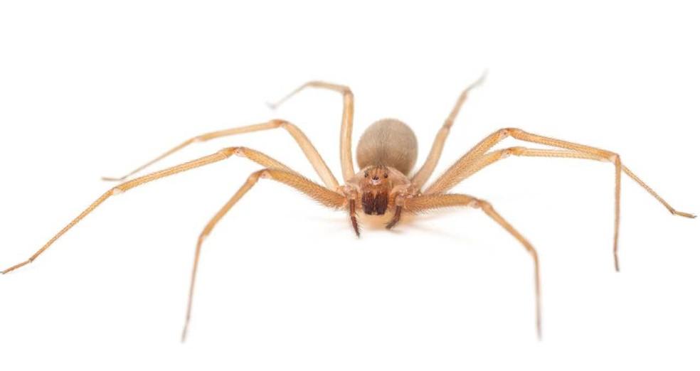 Em 2017, foram registrados 7.992 casos de acidentes com aranhas-marrons em todo o país — Foto: Rafael Marques Porto/via BBC