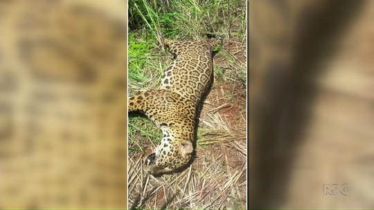 Onça-pintada morre ao ser atropelada em rodovia no norte do Paraná