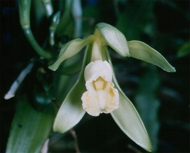 A planta Vanilla planifolia (Foto: Wikimedia)