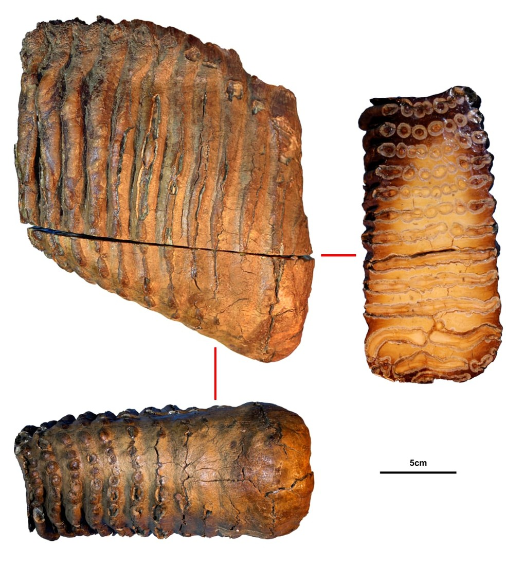 Pesquisadores descobrem DNA mais antigo do mundo em mamutes da Sibéria. Na foto, o dente de mamute Krestovka, de mais de um milhão de anos. — Foto: Universidade de Estocolmo
