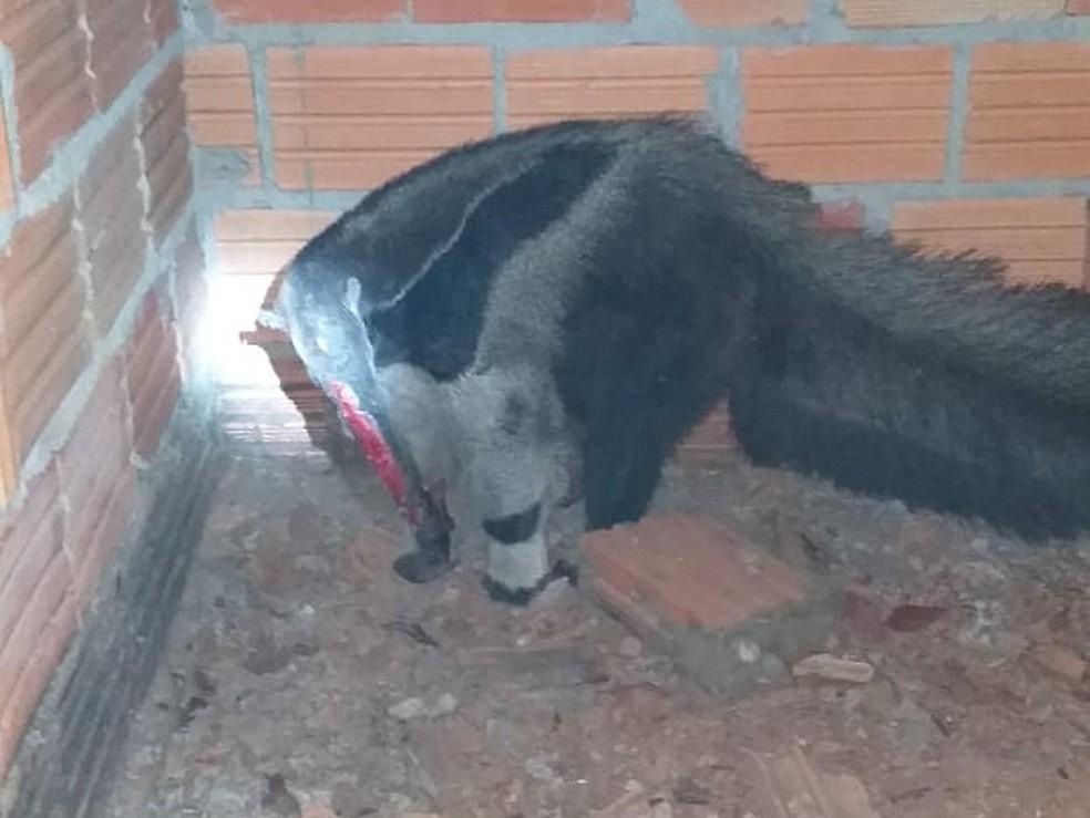 Tamanduá ficou com o focinho ferido — Foto: Secretaria de Meio Ambiente/ Prefeitura de Peixe