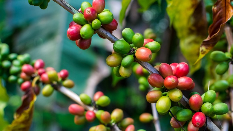 cafe-cafezal-planta (Foto: Thinkstock)