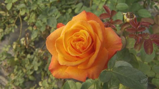 Aumento de 20% na colheita anima produtores de rosas em Andradas para vendas do Dia das Mães