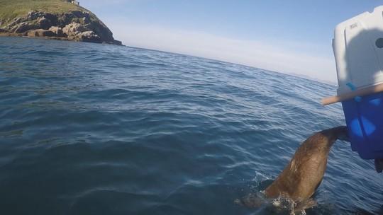 Após reabilitação, lobo-marinho é devolvido à natureza na Ilha do Xavier em Florianópolis; VÍDEO