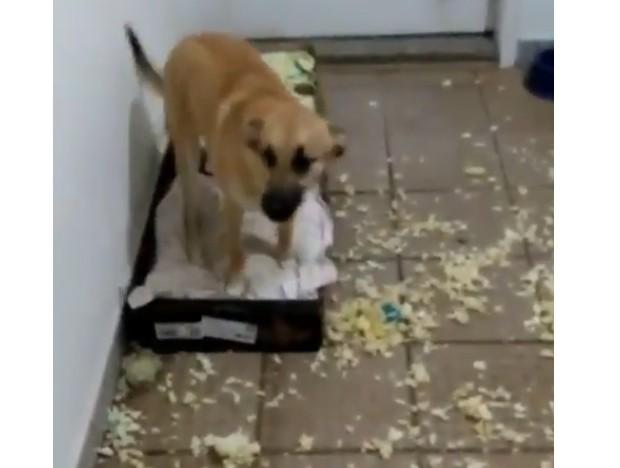 Chico, cachorro que ficou famoso na internet após destruir cama da dona (Foto: Reprodução/Instagram)