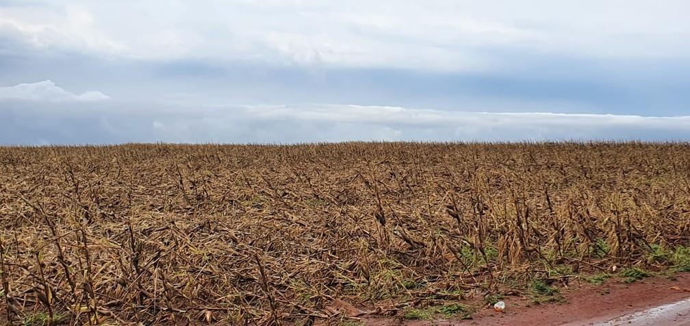 Parte de lavoura de milho em Bela Vista do Paraná após passagem de temporal nesta quarta-feira (19) — Foto: Alberto D'Angele/RPC