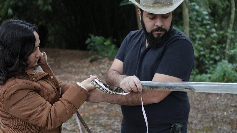 A explicação por trás da descoberta de jararacas gigantes em parque de São Paulo