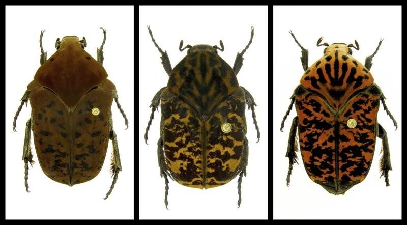 Escaravelhos Gymnetis drogoni, Gymnetis rhaegali e Gymnetis viserioni (Foto: Brett Ratcliffe)