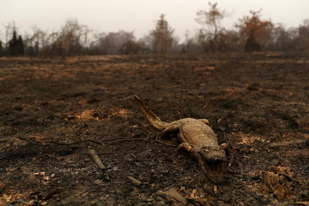 Um jacaré morto é visto em uma área que queimada após incêndio no Pantanal, a maior área úmida do mundo, em Poconé (MT) — Foto: Amanda Perobelli/Reuters
