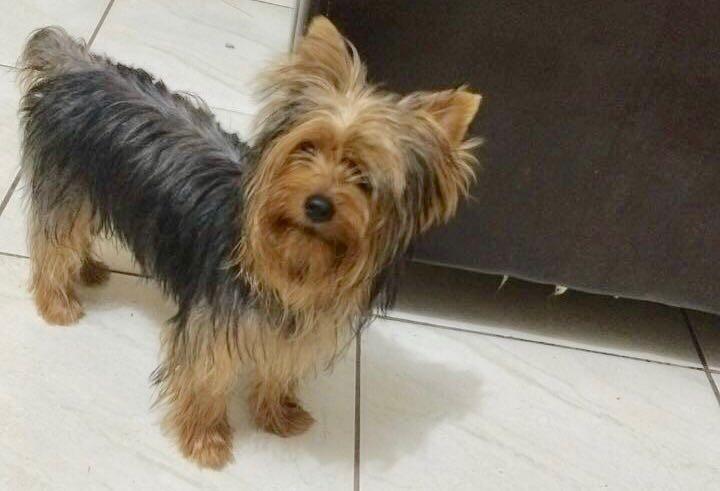 Cadela desaparece em bairro de Rio Branco e família oferece recompensa para quem encontrá-la