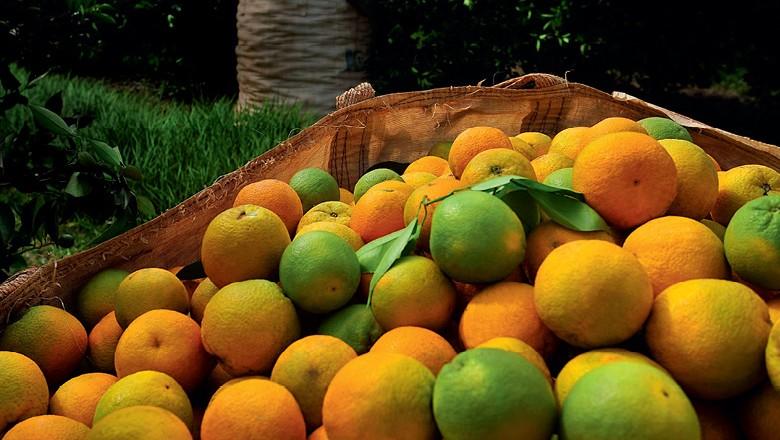 A guerra sem trégua contra o greening na laranja (Foto: Reprodução/Programa Globo Rural)