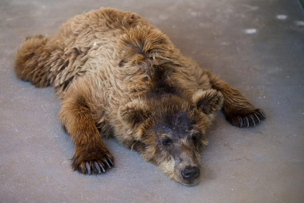 Ursa descansa em santuário de animais em Joanópolis — Foto: Biga Pessoa/ Rancho dos Gnomos