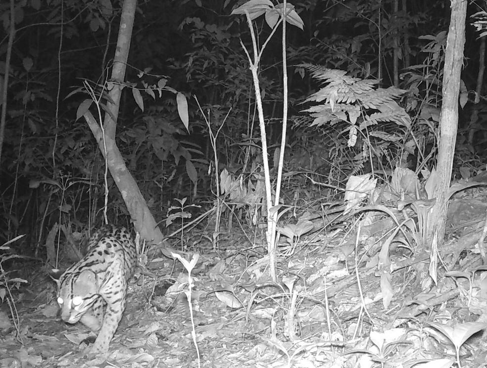 Jaguatirica também foi flagrada no quintal da casa dos biólogos Leen e André em Chapada dos Guimarães (MT) — Foto: Leen Gillis/Arquivo pessoal