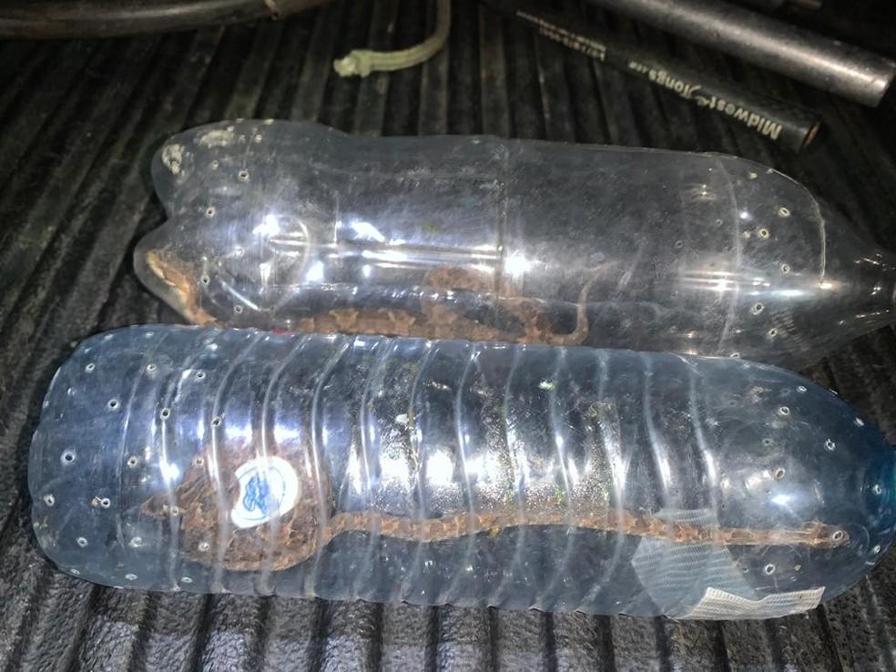 Jararacas foram levadas para o Ibama — Foto: PMRN/Reprodução