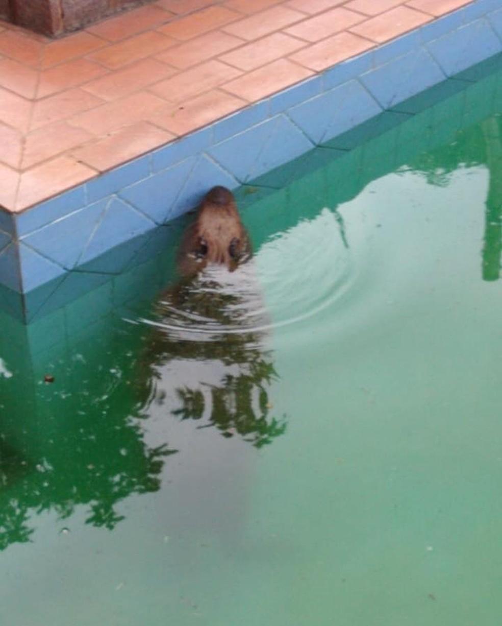 Capivara é flagrada tomando banho em piscina de clínica, em Campo Grande (MS). — Foto: Reprodução/Redes sociais