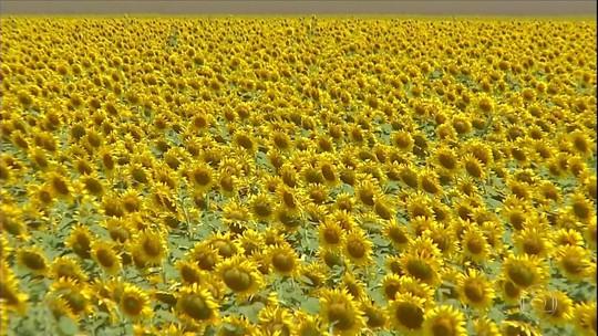 Plantações de girassol dão cor aos campos de Mato Grosso