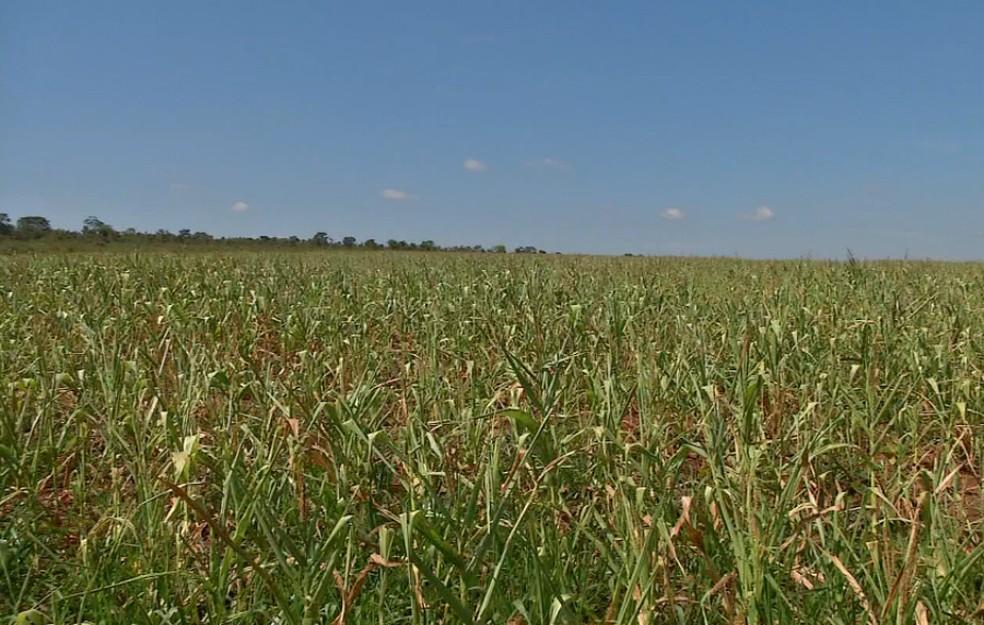 Plantas afetadas pela seca não cresceram (Foto: TV Morena/Reprodução)
