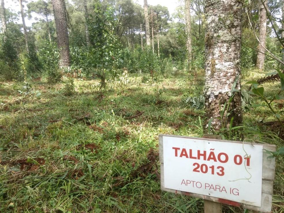 Erva-mate que recebe o selo é separada para a produção — Foto: IG-Mathe/Divulgação