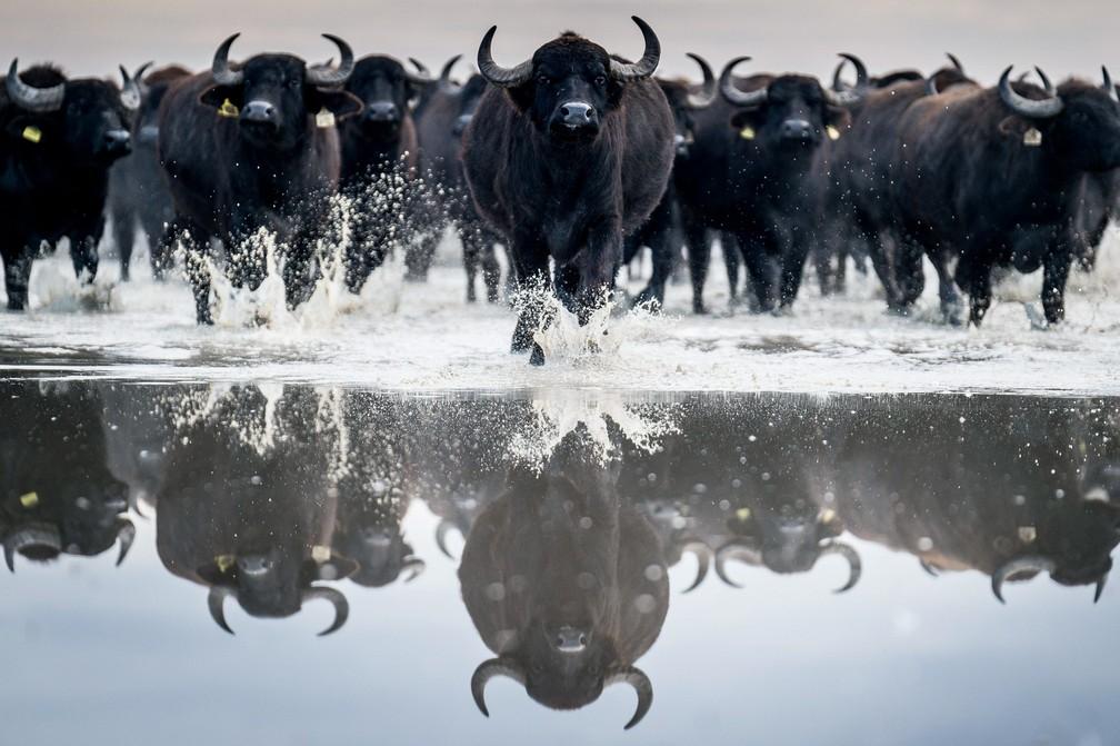 4 de janeiro - Um rebanho de cerca de 120 búfalos é levado no Parque Nacional Kiskunsag a partir de seu habitat de inverno em Szabadszallas para a fazenda animal de Fulopszallas, a 87 km ao sul de Budapeste, na Hungria (Foto: Sandor Ujvari/MTI via AP)