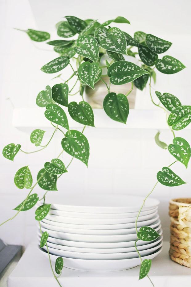 Resultado de imagem para ivy planta