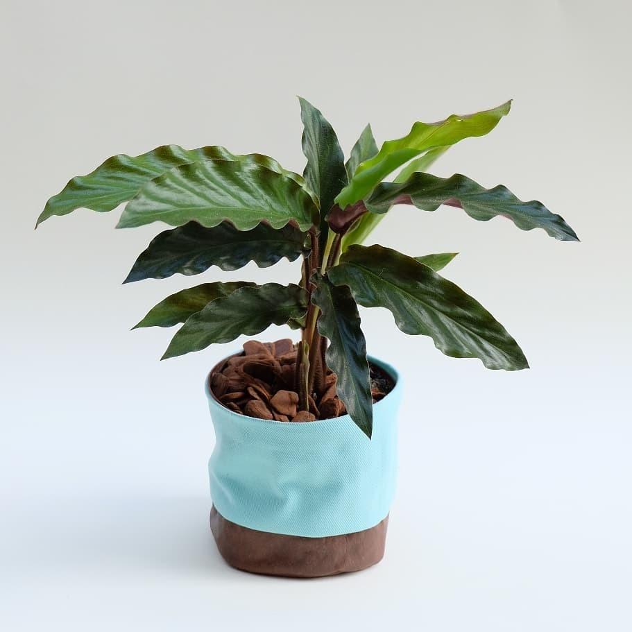 Marantas e Calatheas: conheça as plantas que conquistaram os millennials (Foto: Borealis)