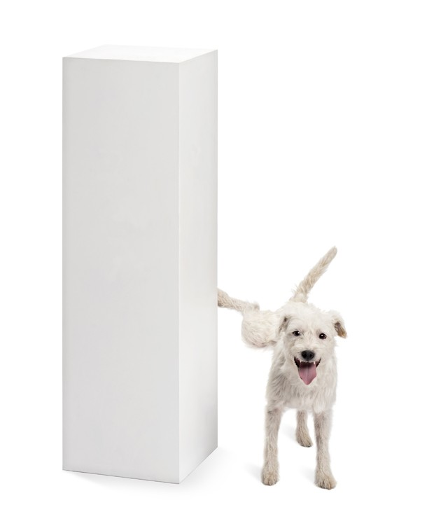 Parson Russell terrier urinating on a pedestal against white background (Foto: Getty Images/iStockphoto)