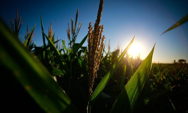 Fazenda de milho em Paranoá, no Distrito Federal