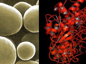 À esquerda, a levedura de onde foi obtido o potencial biofármaco. À direita, modelo da estrutura de Asparaginase (Foto: Divulgação)
