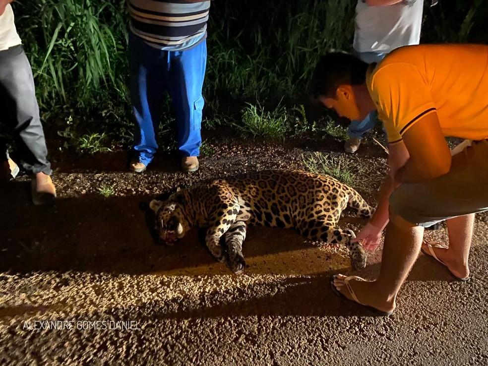 Uma onça-pintada morreu atropelada na noite dessa quarta-feira (18) após ser atropelada duas vezes na MT-08, entre Alta Floresta e Carlinda — Foto: Alexandre Gomes Daniel/Arquivo pessoal