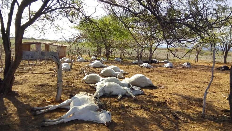 De acordo com a última atualização da Adab, 105 gados morreram em um intervalo de dois dias. — Foto: Achei Sudoeste