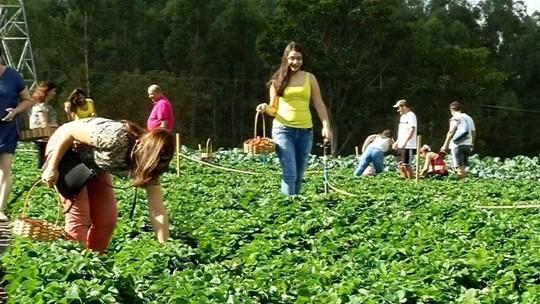 Sistema 'colha e pague' em plantações de frutas movimenta turismo rural