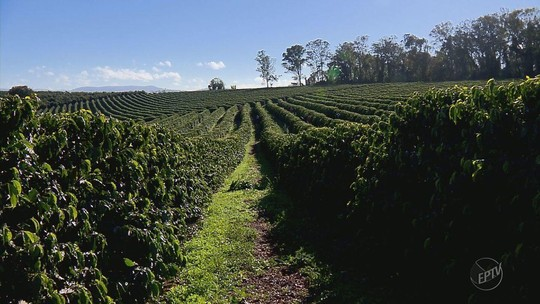 Chuva afeta produção de café em lavouras do Sul de Minas