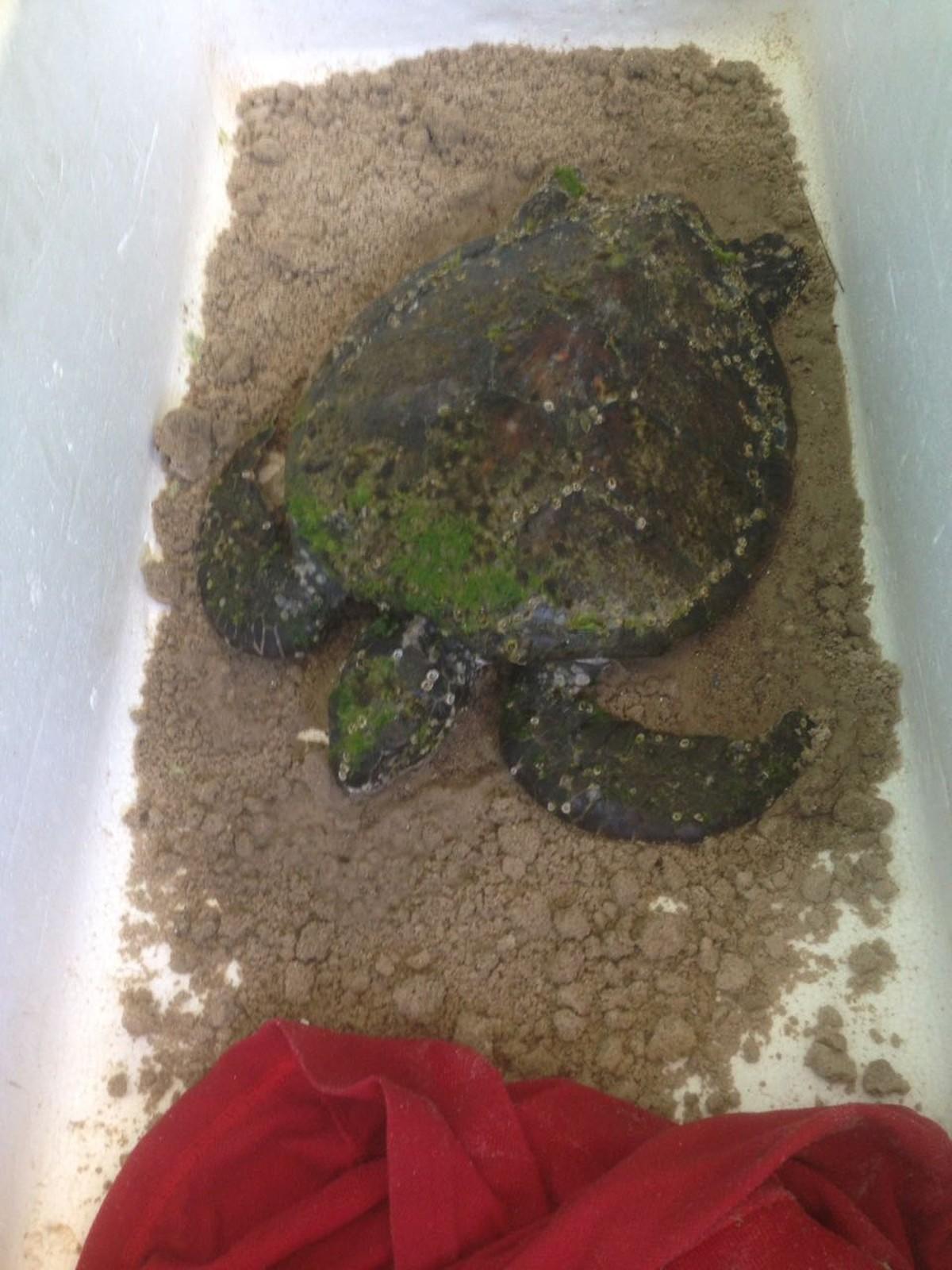 Tartarugas são resgatadas na Praia do Forno, em Arraial do Cabo, no RJ