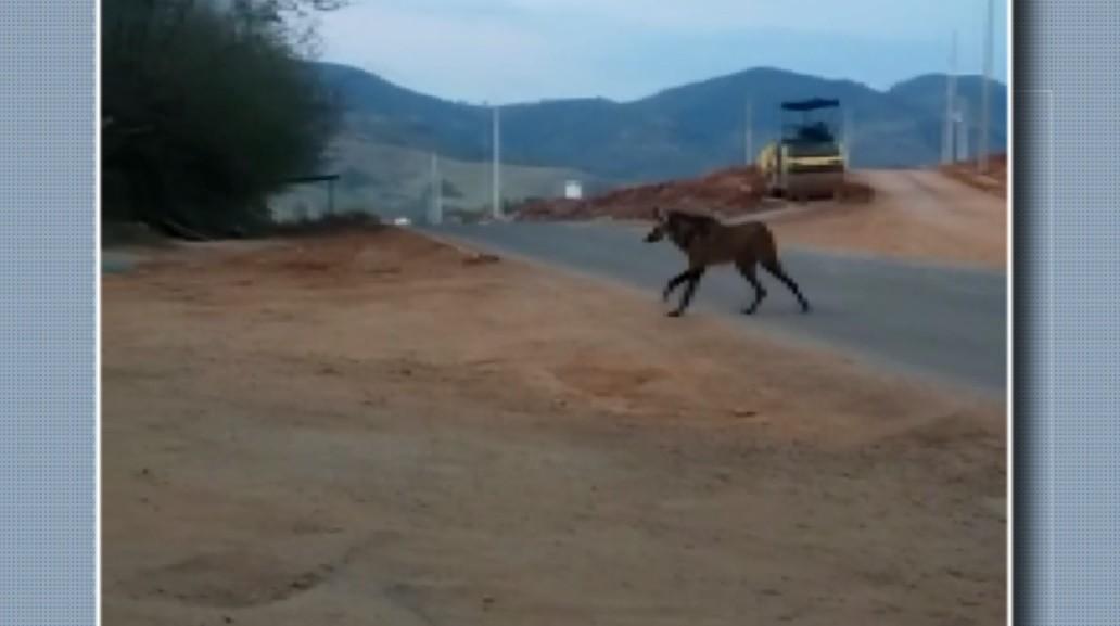 Lobo-guará e tamanduá aparecem em cidades do Sul de MG após queimadas