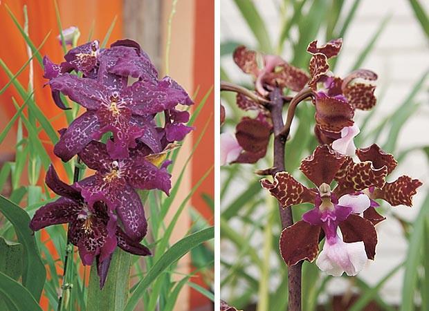 Beallara e Oncidium lawrencianum (Foto: Evelyn Müller)