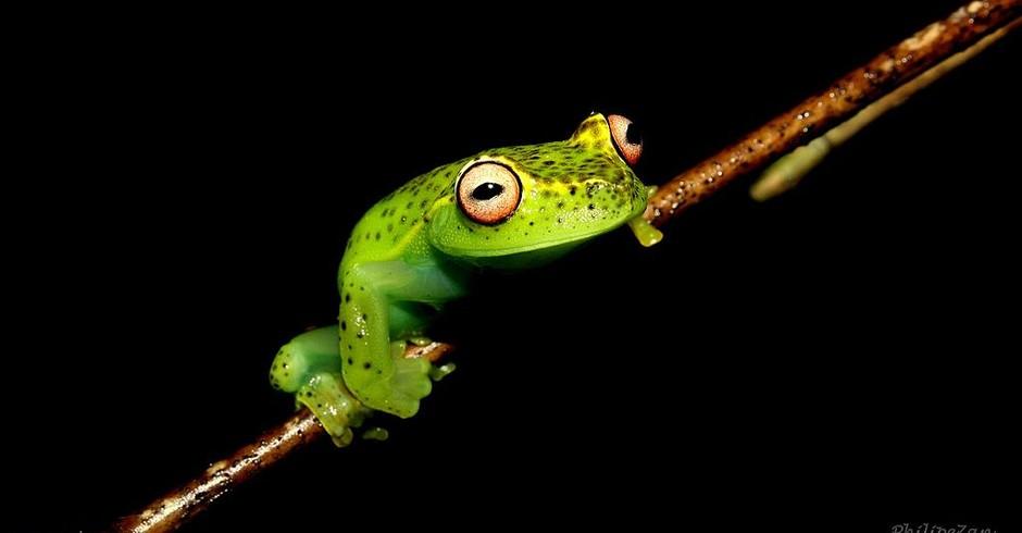 Aplastodiscus arildae, espécie de anfíbio endêmico no Brasil. Animal pode ser encontrada no bioma da Mata Atlântica (Foto: Wikicommons)