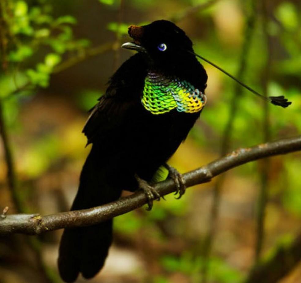 Ave do paraíso da espécie Parotia wahnesi com plumagem superpreta (Foto: Tim Laman/Nature)