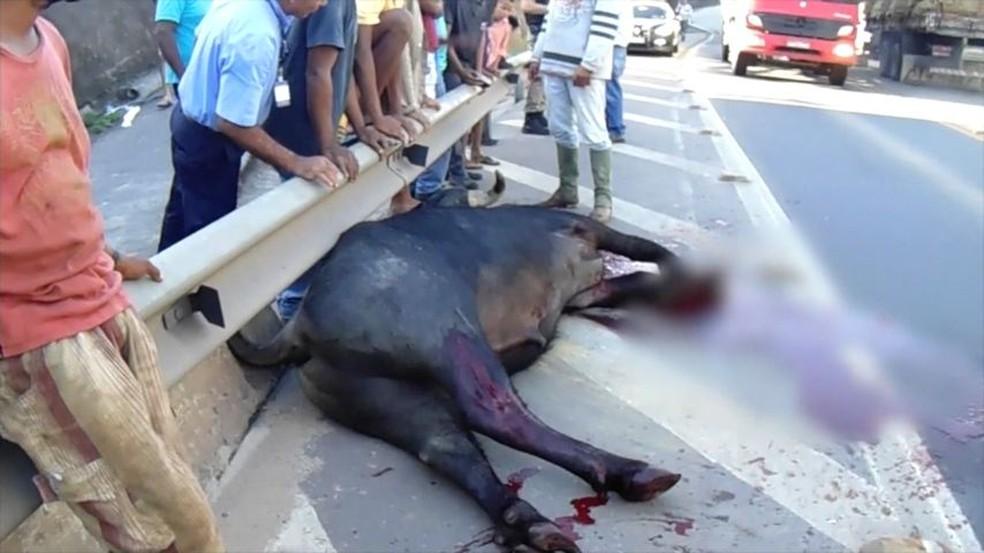 Búfalo é abatido após invadir BR-101 (Foto: Reprodução/ TV Gazeta)
