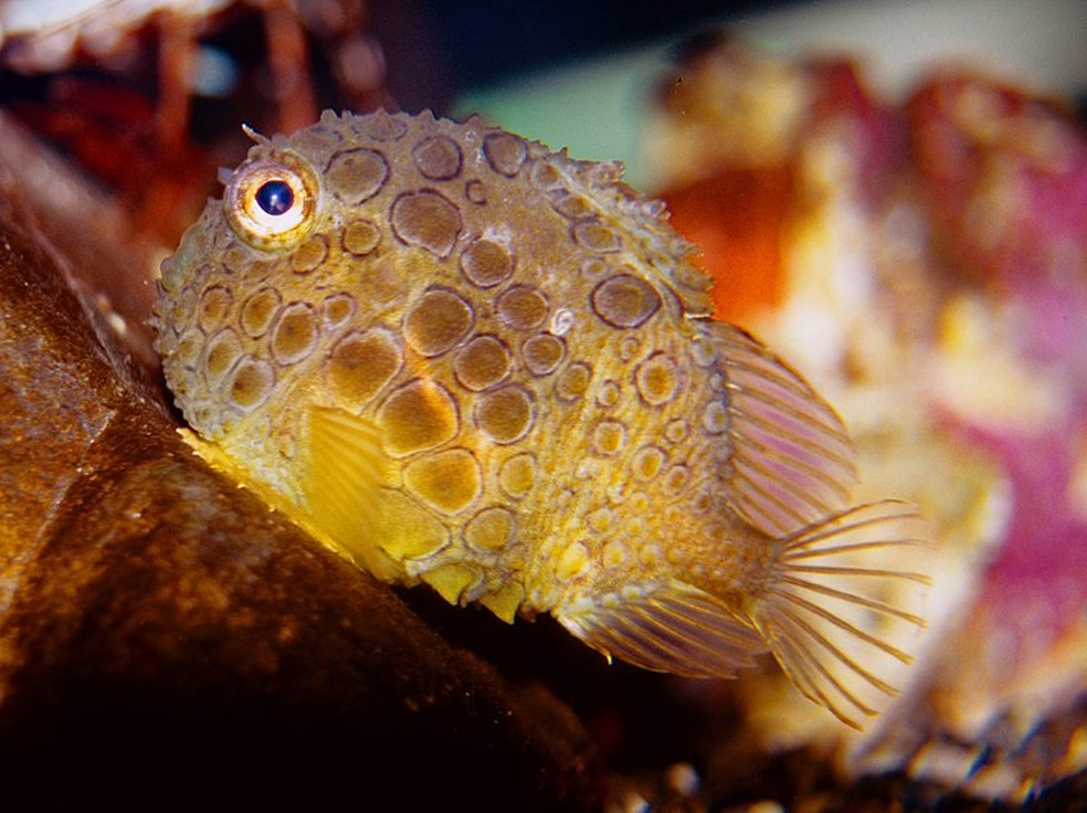 Peixe Eumicrotremus orbis é uma espécie muito pequena e esférica que gruda em rochas e algas (Foto: David Csepp/NOAA)