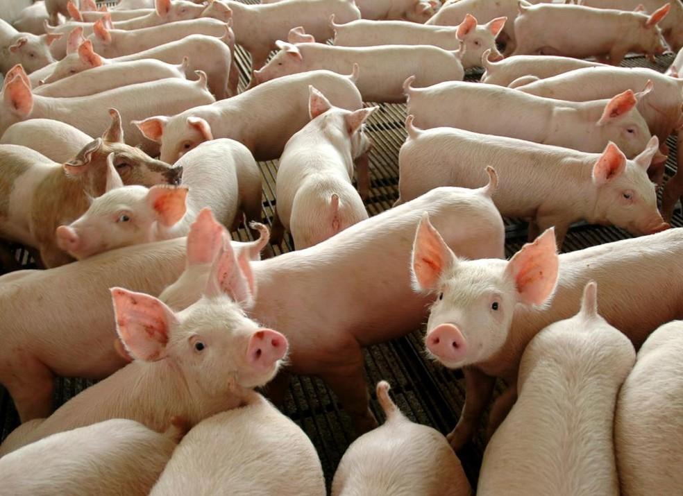 Mato Grosso também registrou aumento no abate de suínos (Foto: José Medeiros / Gcom-MT)