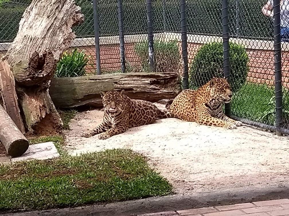 Casal de onças Apolo e Angélica também esbanjam longevidade  — Foto: Andressa Passenko/Zoológico de Curitiba