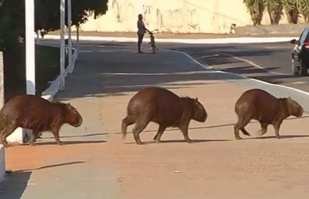 Pesquisadores querem fazer estudo sobre a população de capivaras em Catalão (Foto: Reprodução/TV Anhanguera)