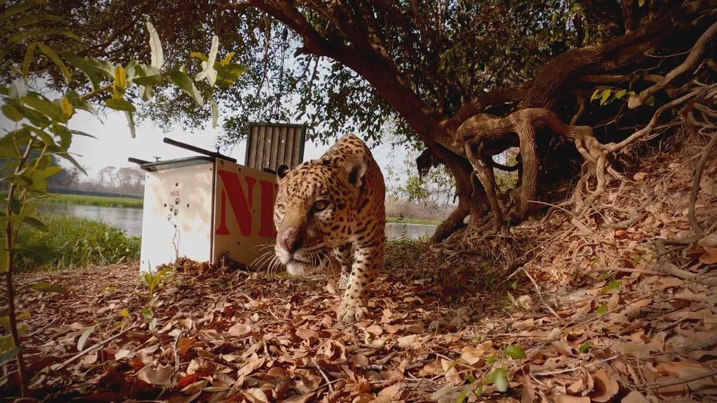 O momento em que, já recuperado, o Ousado volta a viver na natureza do Pantanal — Foto: Globo Repórter