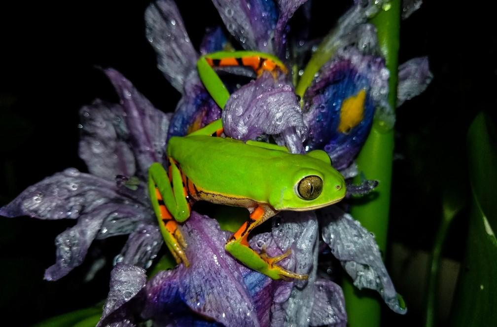 Perereca da espécie recém-descoberta por pesquisadores da Unicamp, Pithecopus gonzagai — Foto: Rayany Gonçalves