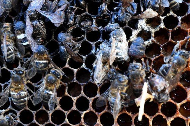 A queda na população de abelhas selvagens tem sido atribuída por alguns especialistas ao amplo uso de pesticidas na agricultura (Foto: Getty Images via BBC News)