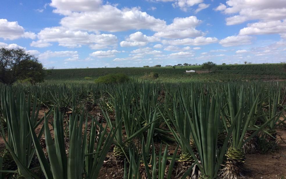 Plantação de sisal (Foto: Henrique Mendes / G1)
