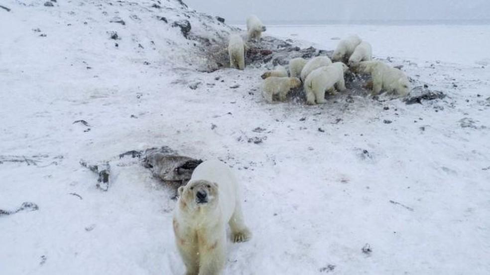 Ambientalistas contaram 56 ursos polares no vilarejo, incluindo filhotes — Foto: WWF